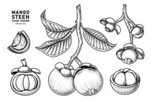 conjunto de fruta de mangostán elementos dibujados a mano ilustración botánica vector