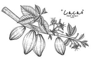 Cacao branch with fruits hand drawn illustration vector