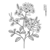 Plumbago auriculata or Cape Leadwort flower Hand Drawn Sketch Illustrations vector