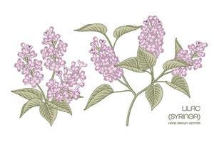 Purple Syringa vulgaris or Common Lilac flower Hand Drawn Botanical Illustrations vector