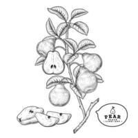 rama de pera con frutas vector de boceto dibujado a mano