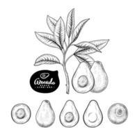 conjunto de vectores de boceto dibujado a mano de fruta entera y mitad de aguacate