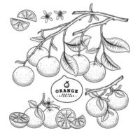 Whole half and slice of Orange citrus fruit Hand Drawn Sketch vector