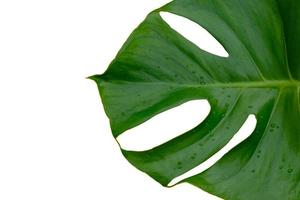 Monstera plant leaf isolated on white background photo