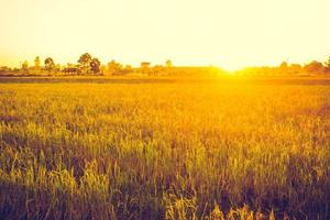 Rice field with sunset photo