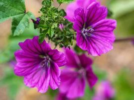 Hermosas flores y hojas de malva púrpura, malva sylvestris foto