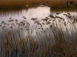 Cañas en la reserva natural de Far Ings, Lincoln, Inglaterra foto