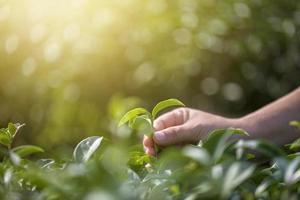 Close-up hand picking fresh tea leaves in natural organic green tea farm photo