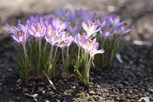 flores de azafrán que crecen en el suelo a principios de primavera foto