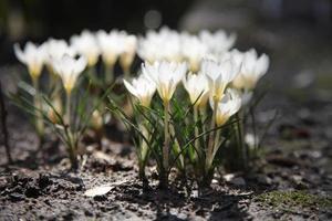 las primeras flores de primavera florecen en el jardín. Flores de azafrán blancas que crecen en el suelo a principios de la primavera foto