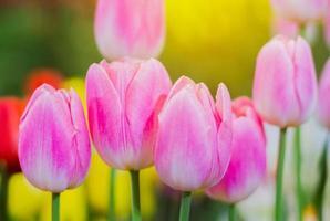 los tulipanes rosados están floreciendo foto