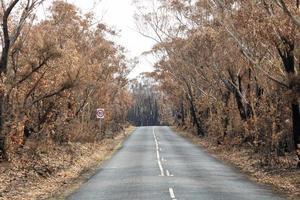 Árboles de goma gravemente quemados a lo largo de una carretera rural después de importantes incendios forestales en las montañas azules de Australia foto