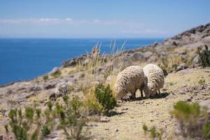Sheep above Titicaca Taquile landscape in Peru photo