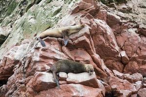 leones marinos en los acantilados de la isla ballestas foto
