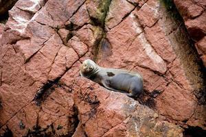 león marino en los acantilados de la isla ballestas foto