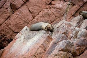 Sea lion on the Ballestas Island Cliffs photo
