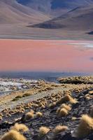 Colorida laguna colorada en la meseta del altiplano en Bolivia foto