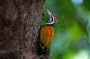 Close-up of common flameback or goldenback or woodpecker on tree photo