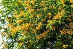 Padauk flower blooming on the tree photo