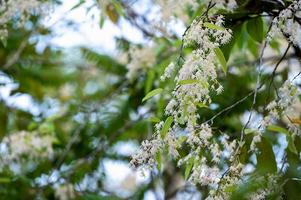 Shorea flowers or white meranti flowers blooming on the tree photo