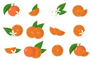 Set of illustrations with clementine exotic citrus fruits, flowers and leaves isolated on a white background. vector