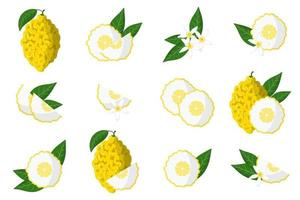 Set of illustrations with citron exotic citrus fruits, flowers and leaves isolated on a white background. vector