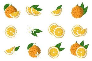 Set of illustrations with bitter orange exotic citrus fruits, flowers and leaves isolated on a white background. vector