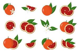 Set of illustrations with blood orange exotic citrus fruits, flowers and leaves isolated on a white background. vector