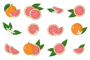 Set of illustrations with grapefruit exotic citrus fruits, flowers and leaves isolated on a white background. vector