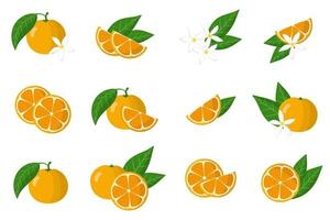 Set of illustrations with calamondin exotic citrus fruits, flowers and leaves isolated on a white background. vector