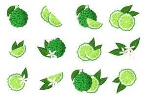 Set of illustrations with bergamot exotic citrus fruits, flowers and leaves isolated on a white background. vector