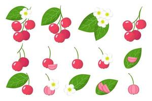 Set of illustrations with Capulin exotic fruits, flowers and leaves isolated on a white background. vector