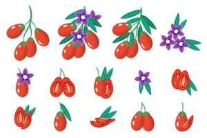Set of illustrations with Goji exotic fruits, flowers and leaves isolated on a white background. vector