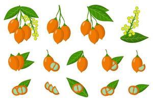 conjunto de ilustraciones con frutas exóticas bunchosia, flores y hojas aisladas sobre fondo blanco. vector