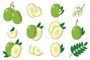 Set of illustrations with Ambarella exotic fruits, flowers and leaves isolated on a white background. vector