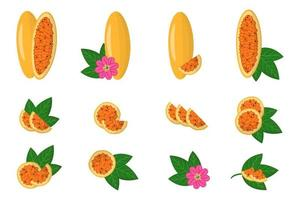 Set of illustrations with Curuba exotic fruits, flowers and leaves isolated on a white background. vector
