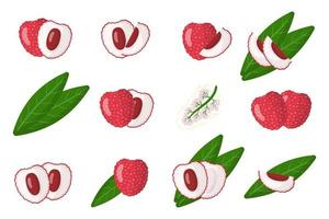 Set of illustrations with Lychee exotic fruits, flowers and leaves isolated on a white background. vector