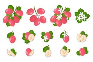 Set of illustrations with Carissa exotic fruits, flowers and leaves isolated on a white background. vector