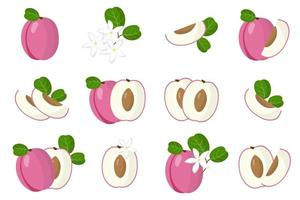 Set of illustrations with Icaco exotic fruits, flowers and leaves isolated on a white background. vector