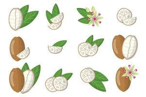 Set of illustrations with Cupuacu exotic fruits, flowers and leaves isolated on a white background. vector