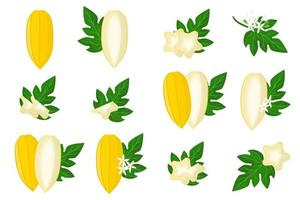 Set of illustrations with Babaco exotic fruits, flowers and leaves isolated on a white background. vector