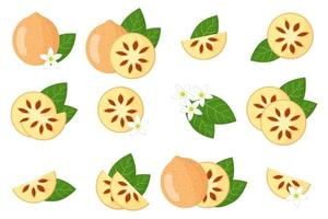 Set of illustrations with Bael exotic fruits, flowers and leaves isolated on a white background. vector