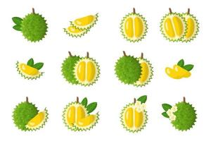 Set of illustrations with Durian exotic fruits, flowers and leaves isolated on a white background. vector