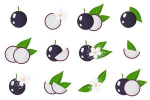 Set of illustrations with Jabuticaba exotic fruits, flowers and leaves isolated on a white background. vector