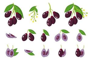Set of illustrations with Jambolan exotic fruits, flowers and leaves isolated on a white background. vector