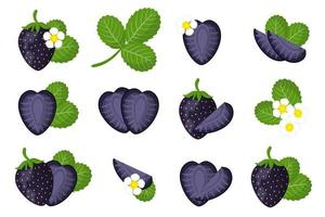 Set of illustrations with Black strawberry exotic fruits, flowers and leaves isolated on a white background. vector