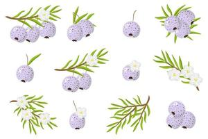 Set of illustrations with Austromyrtus exotic fruits, flowers and leaves isolated on a white background. vector