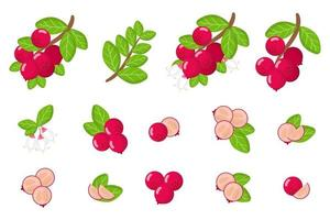 Set of illustrations with Lingonberry exotic fruits, flowers and leaves isolated on a white background. vector