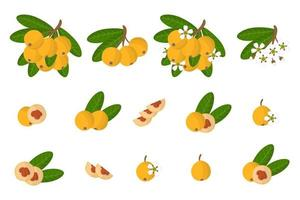 Set of illustrations with Loquat exotic fruits, flowers and leaves isolated on a white background. vector