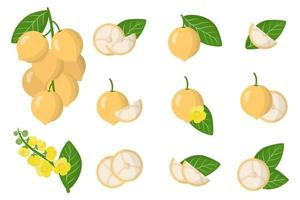 Set of illustrations with Baccaurea exotic fruits, flowers and leaves isolated on a white background. vector